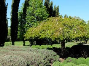 Lavandula garden
