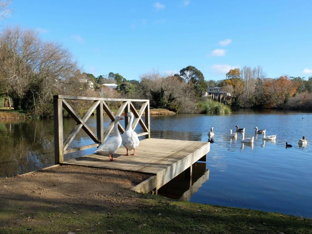 Daylesford laek geese