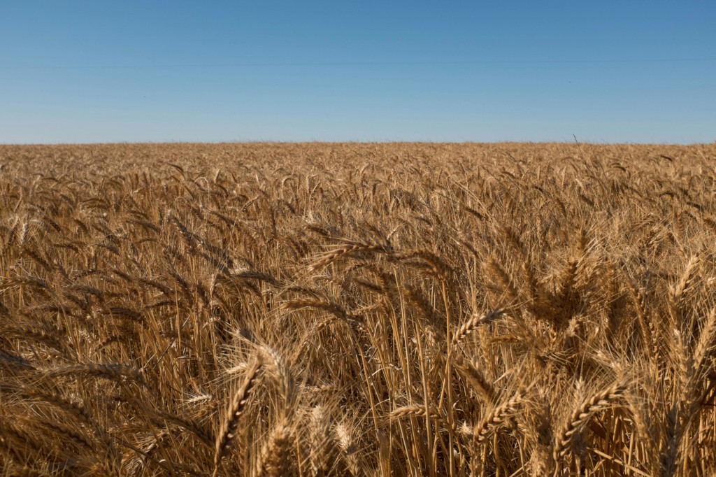 rural-victoria-wheat-field-3
